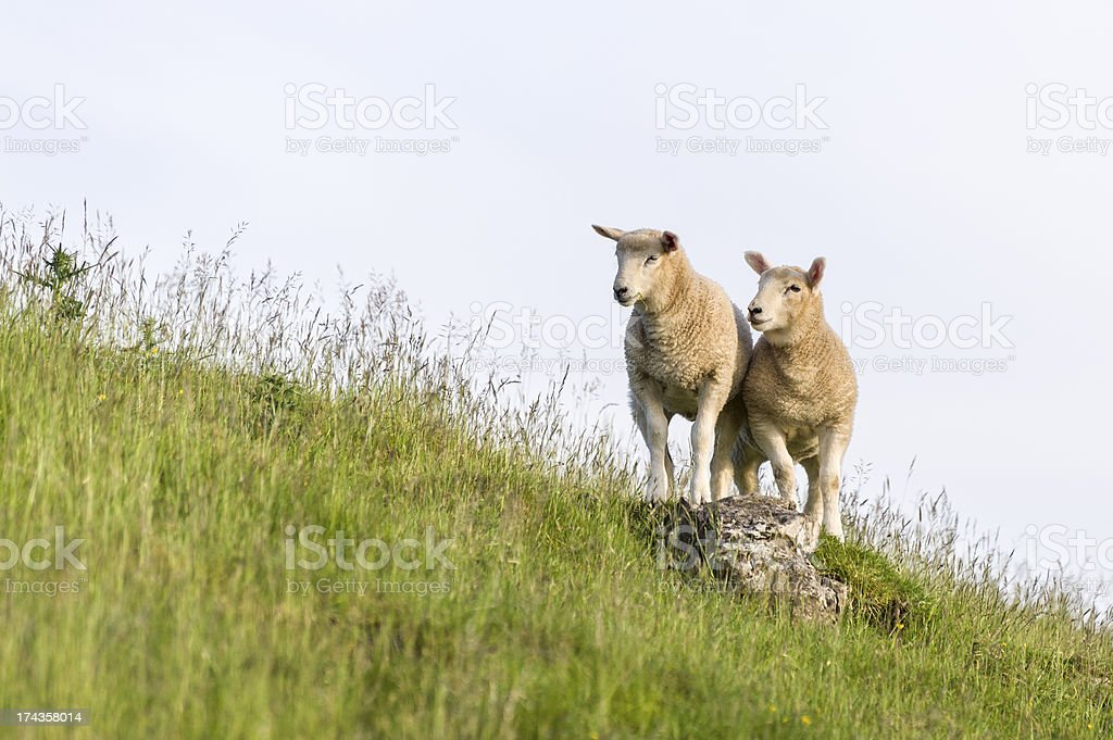 English Lake District: lambs in evening light royalty-free stock photo
