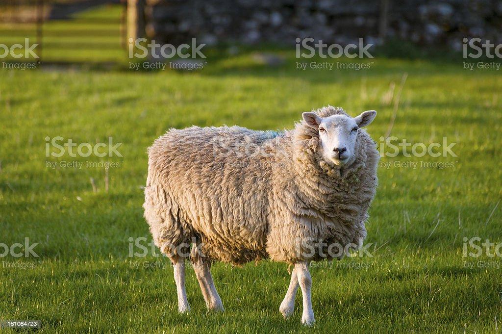English Lake District: sheep in evening spring sunlight royalty-free stock photo