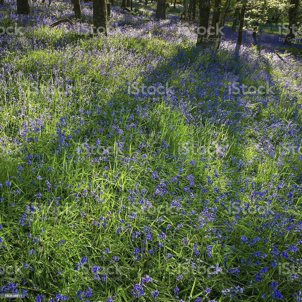 English Lake District: sunlit bluebell wood royalty-free stock photo