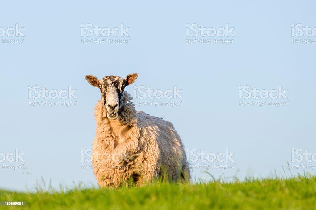 English Lake District: surprised-looking sheep royalty-free stock photo