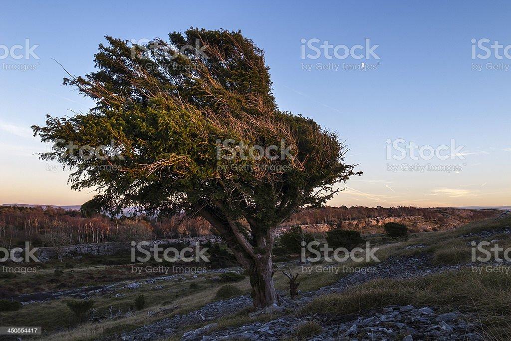 English Lake District: Yew tree and moon at dusk royalty-free stock photo