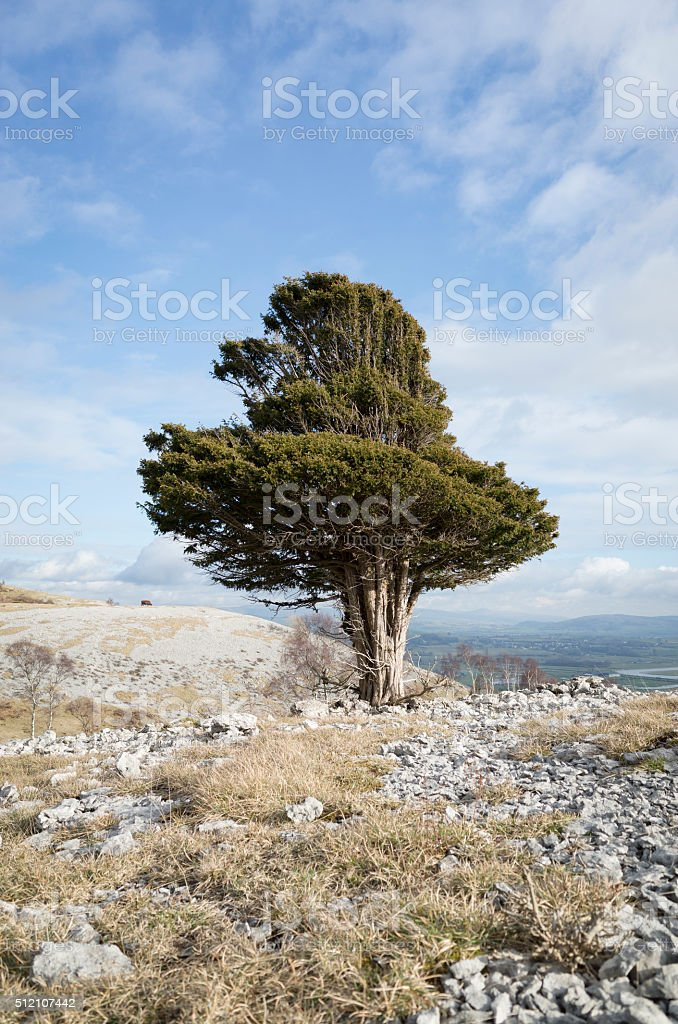English Lake District: Yew tree on Whitbarrow stock photo