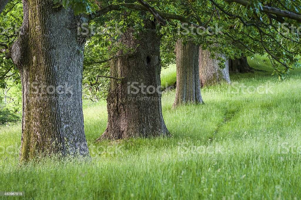 English landscape: avenue of oak trees royalty-free stock photo