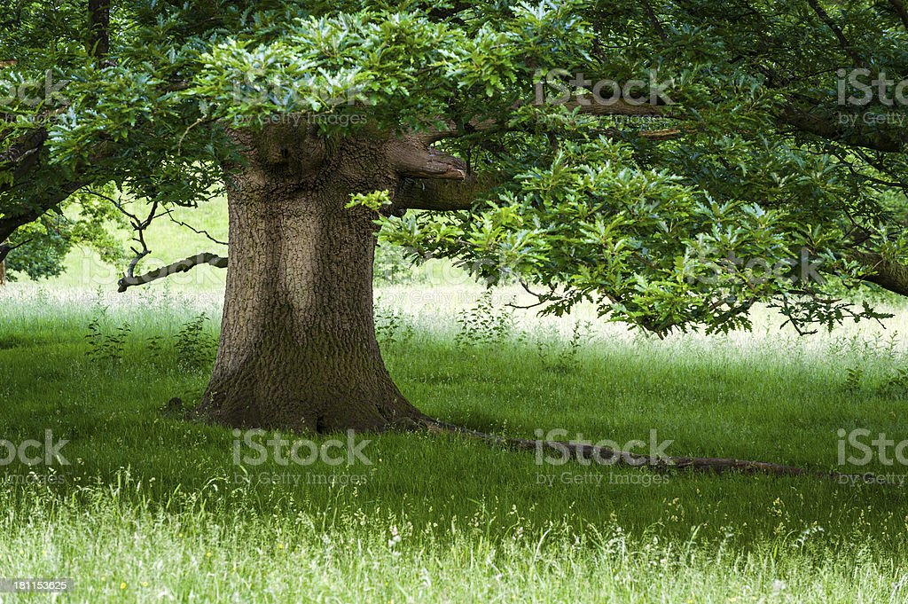 English landscape: oak tree in summer royalty-free stock photo