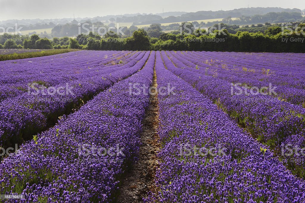 English Lavender royalty-free stock photo