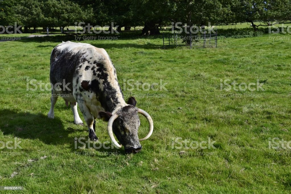 English Longhorn Dairy Cow stock photo