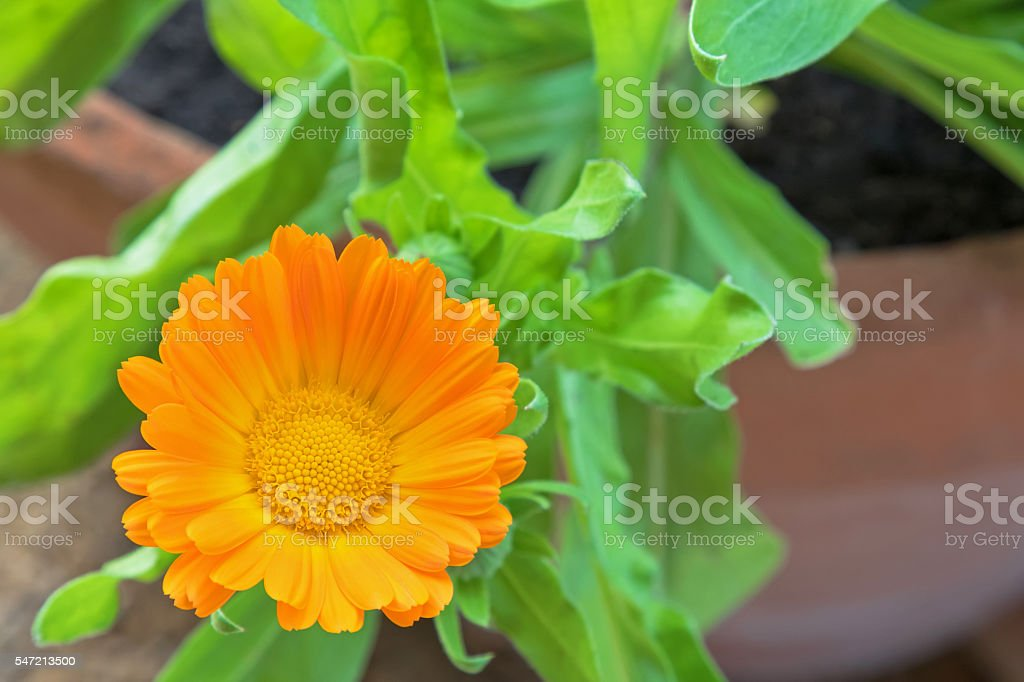 English marigold flower (Calendula officinalis) in orange yellow stock photo