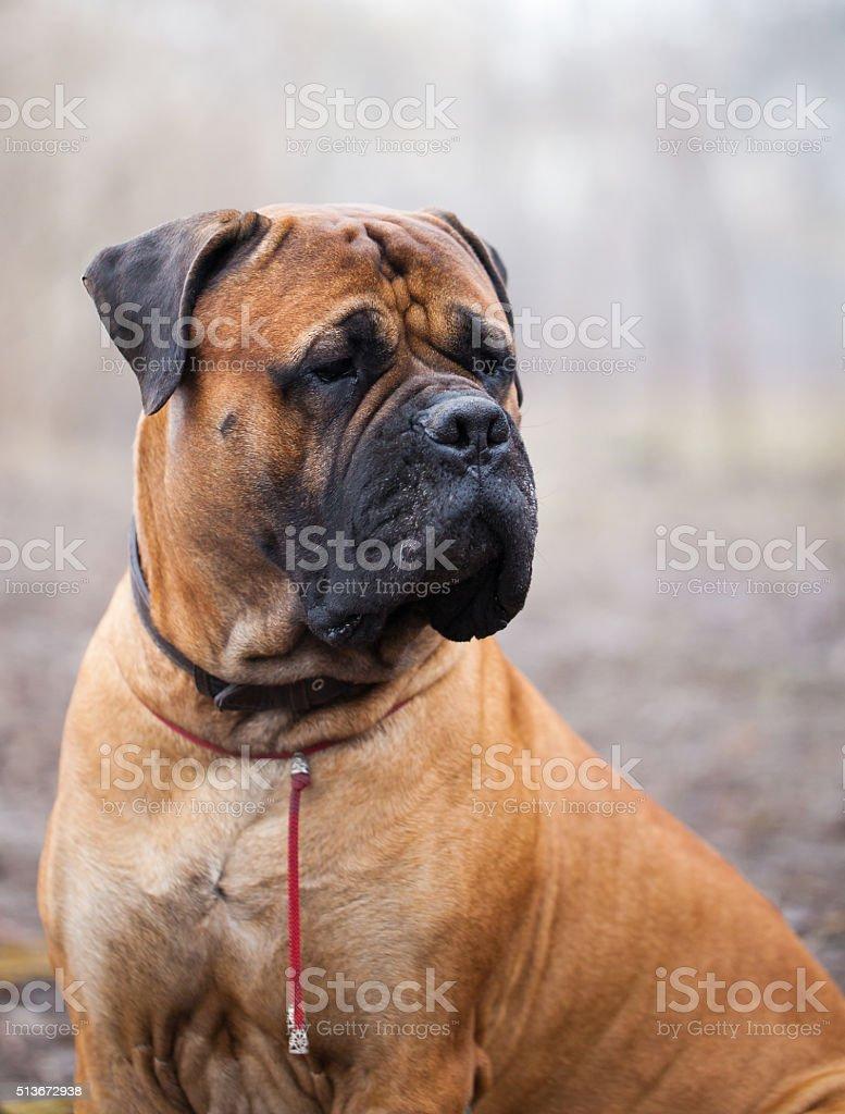 English Mastiff dog stock photo