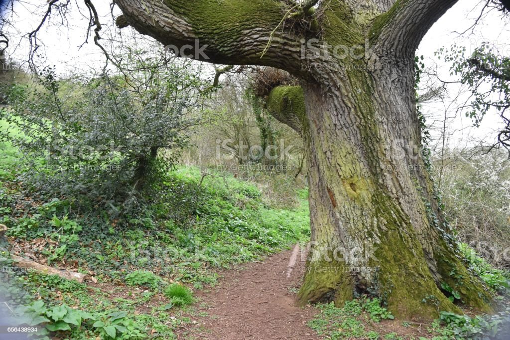 English oak Quercus robur stock photo