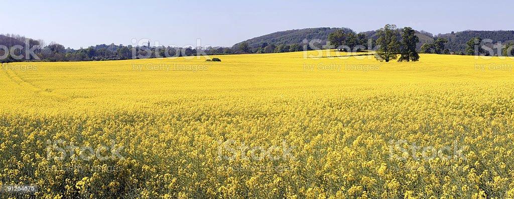 English Oilseed Rape Field Panorama royalty-free stock photo