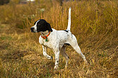English Pointer on point.