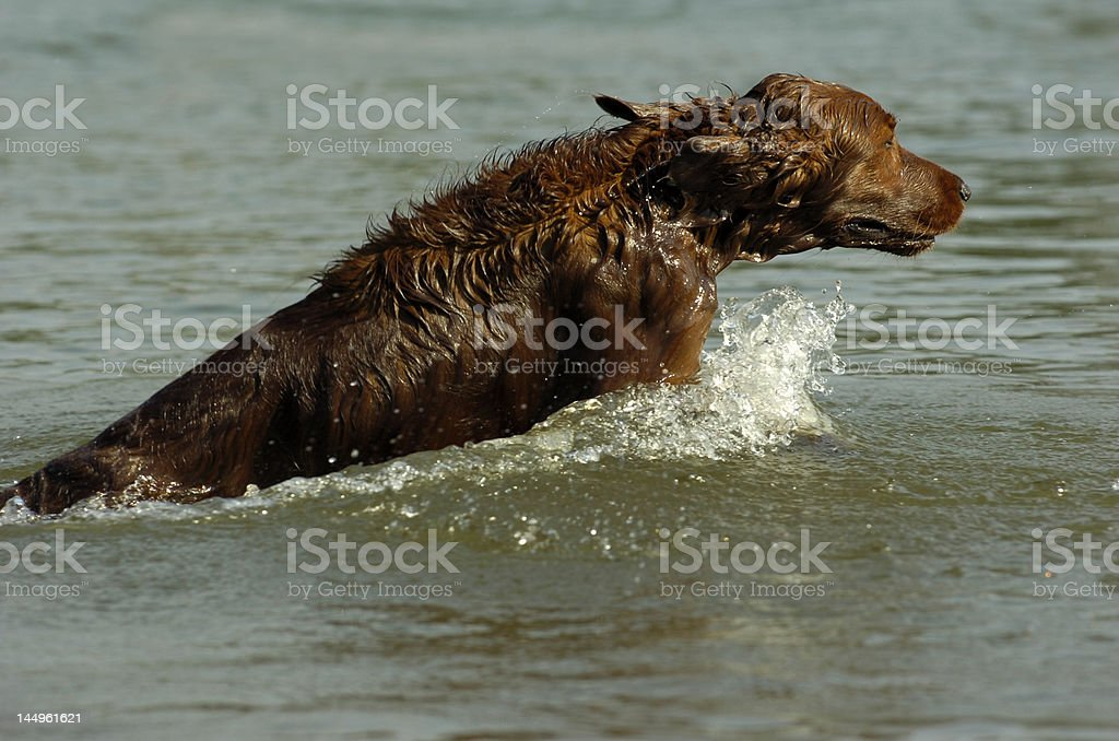 english red setter in water stock photo