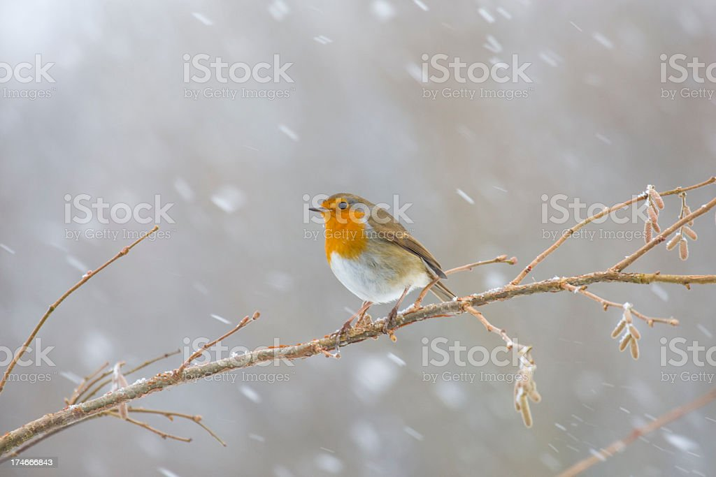 English Robin In A Snowstorm royalty-free stock photo