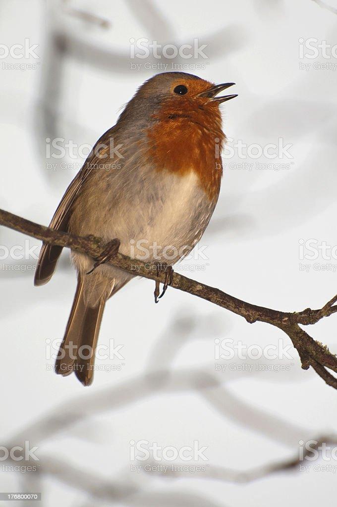 english robin singing evening serenade royalty-free stock photo