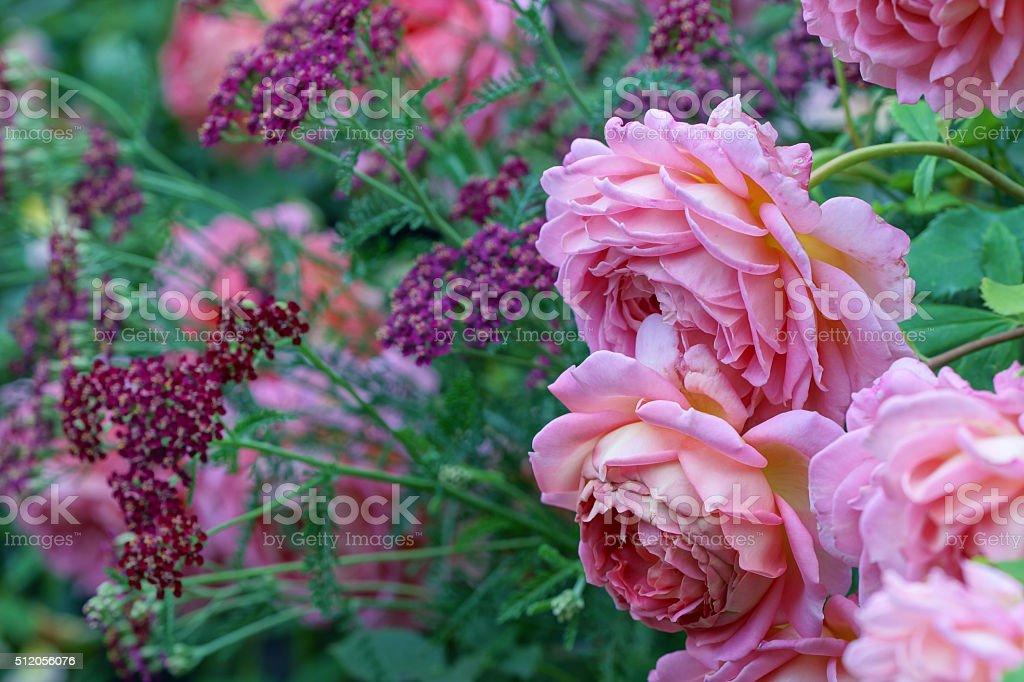 English rose 'David Austin' and yarrow stock photo