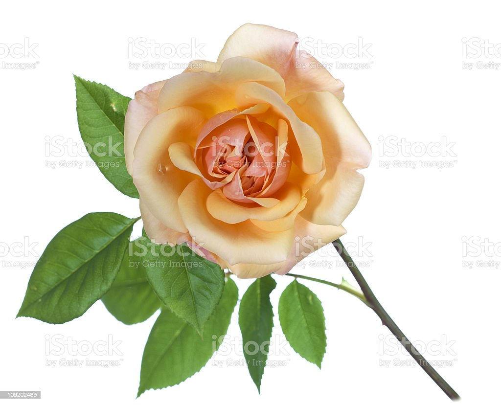 English rose royalty-free stock photo