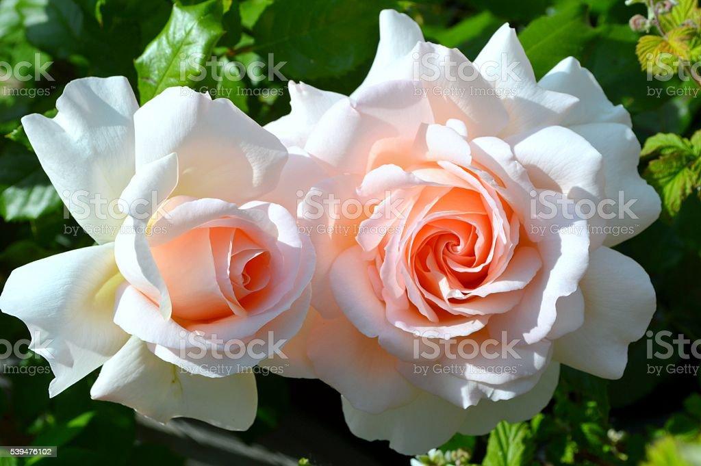 English roses stock photo