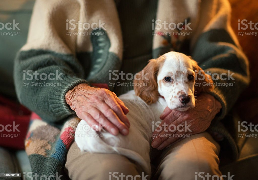 English Setter as therapy dog on a senior woman's lap. stock photo