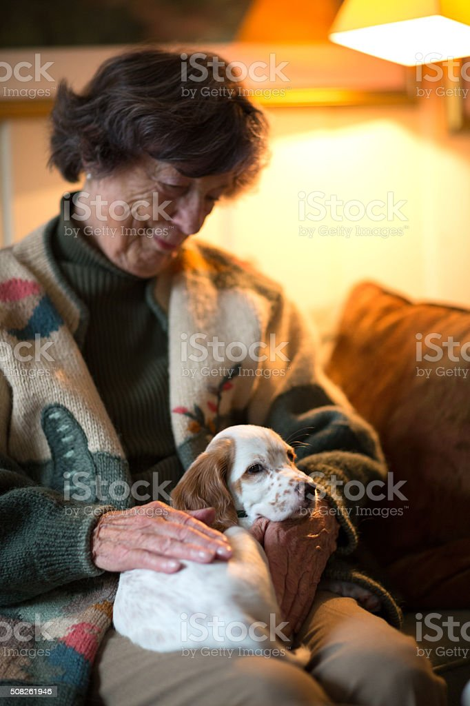 English Setter as therapy dog on a senior woman's lap stock photo