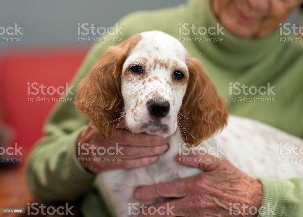 English Setter as therapy dog on a senoir woman's lap. stock photo