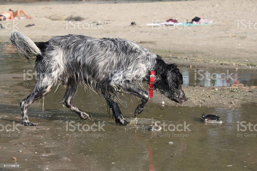 English setter dog in search stock photo