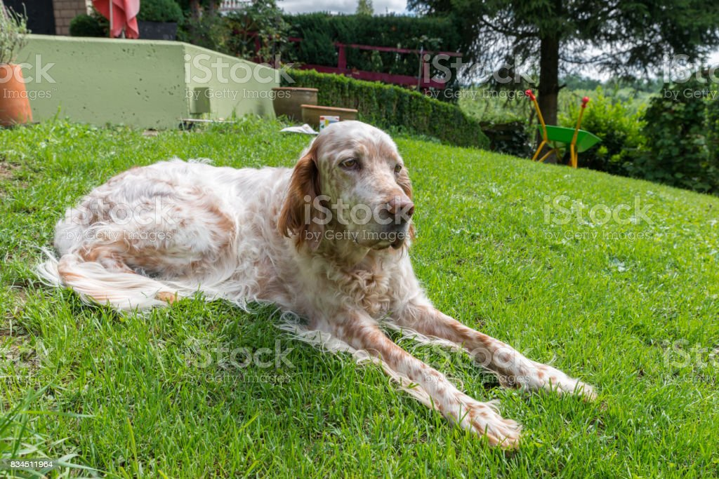 English Setter dog in the blazing sun laying on grass stock photo