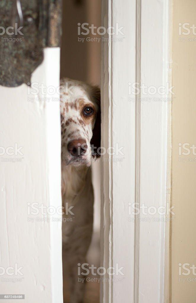 English Setter dog peeking through the door opening, Oslo Norway stock photo