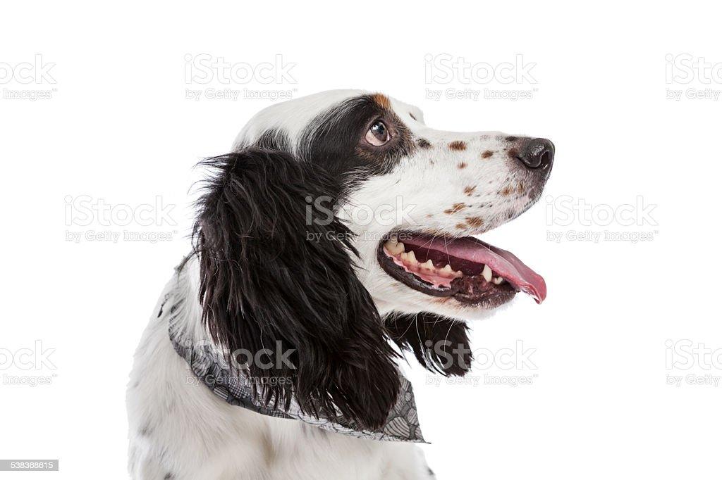 English Setter Dog stock photo