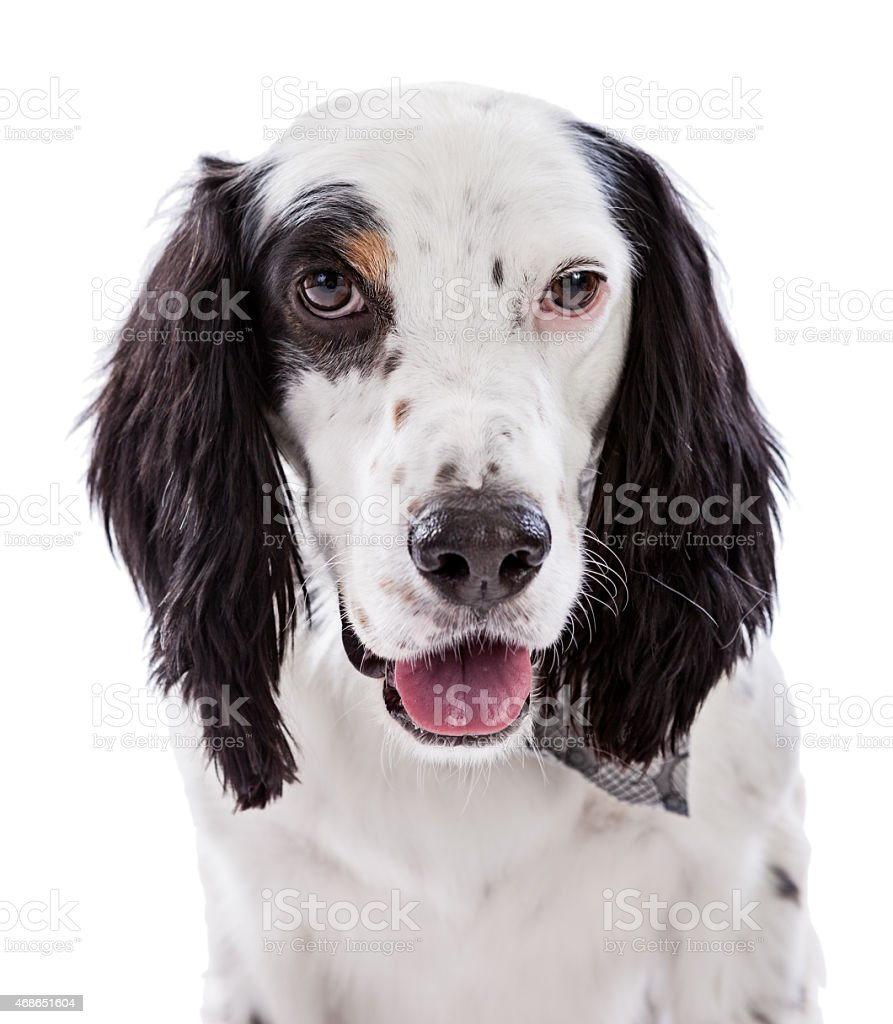 English Setter Dog Portrait stock photo