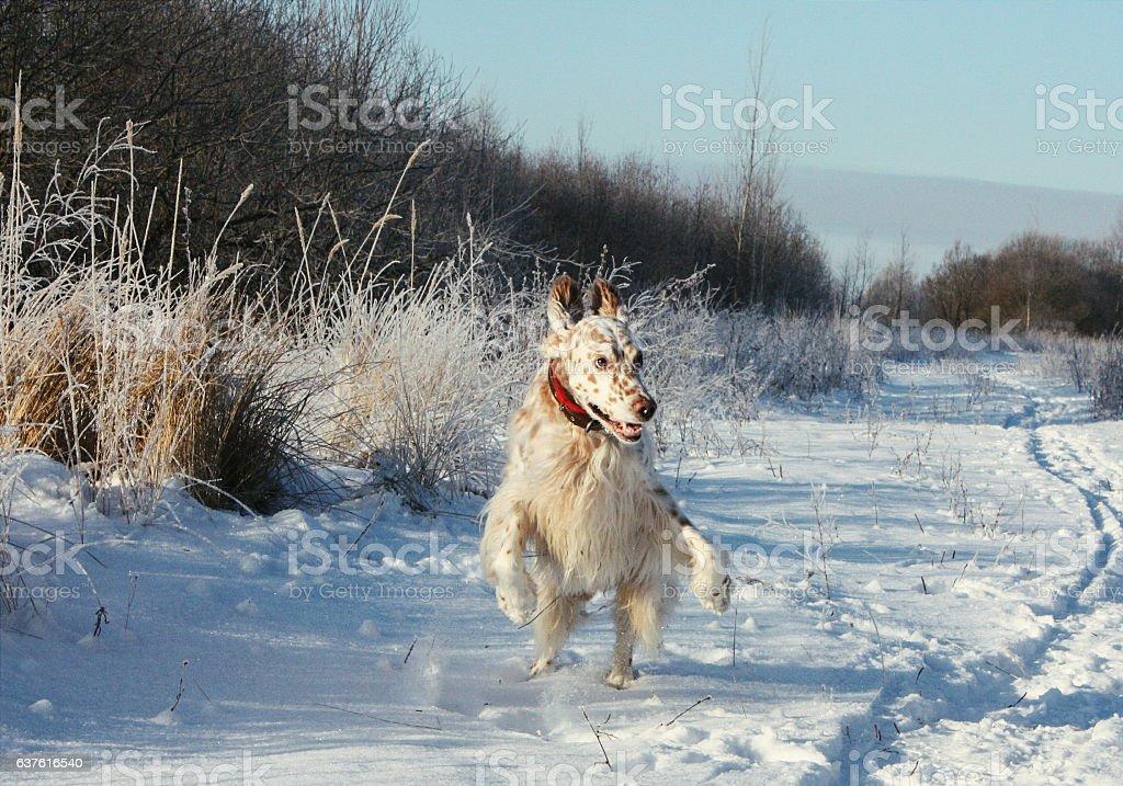 English setter having fun in frozen field stock photo