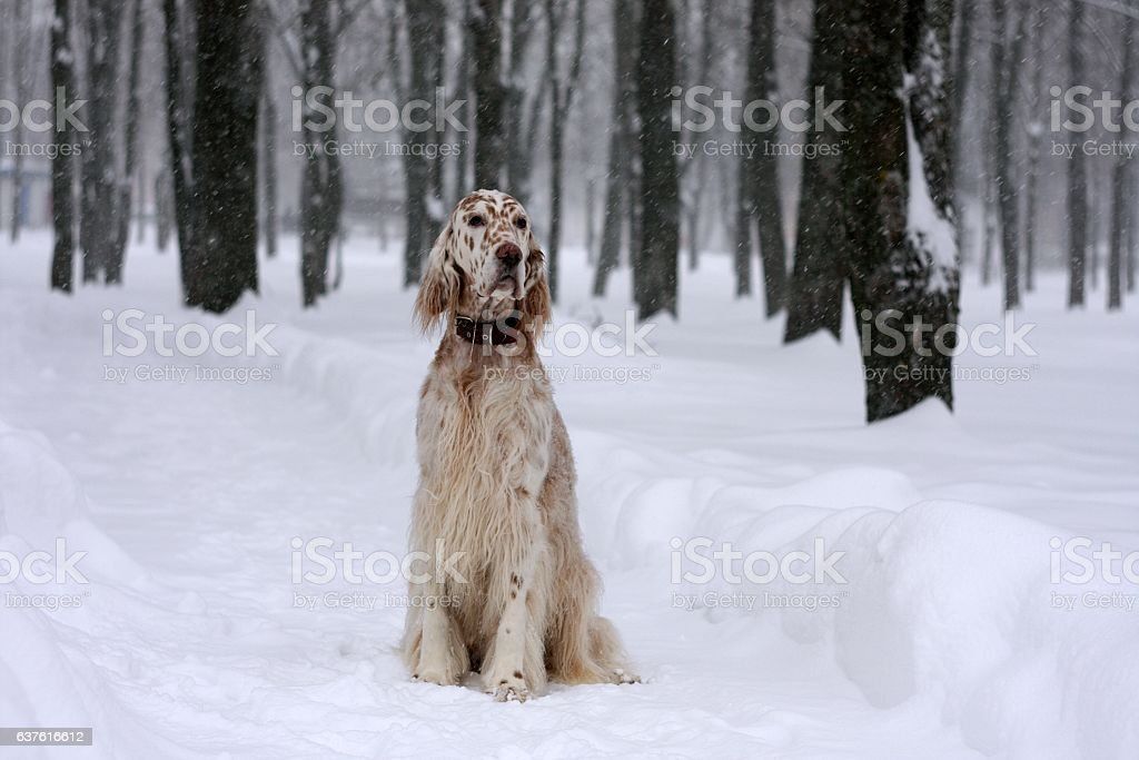 English setter in snowy winter park stock photo