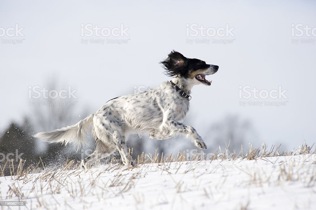 English setter in the field stock photo