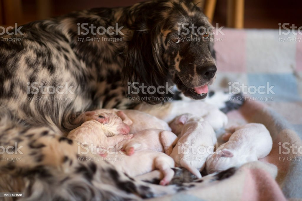 English Setter mom protecting her newborn puppies, Italy stock photo