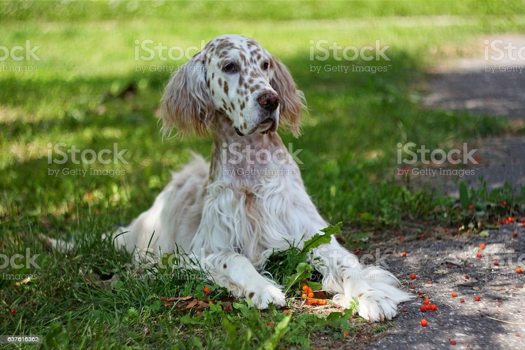 English setter on bright green background stock photo