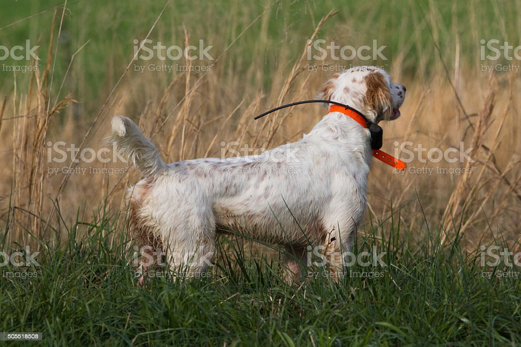 English Setter stock photo