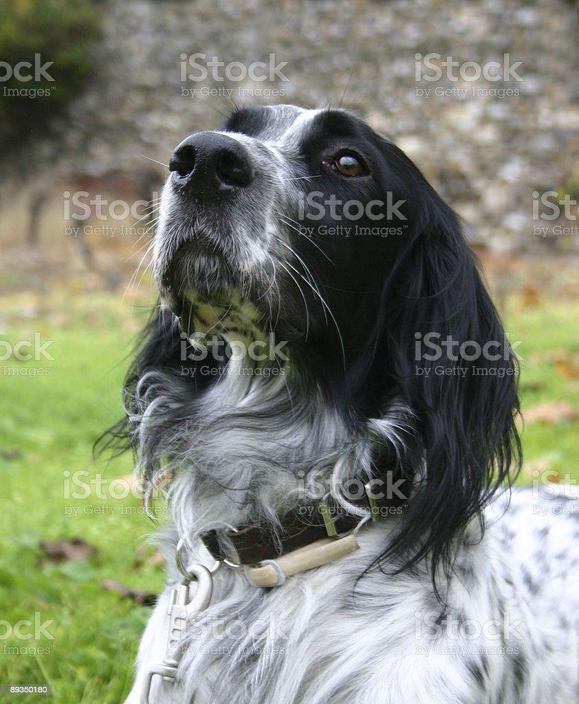 english setter royalty-free stock photo