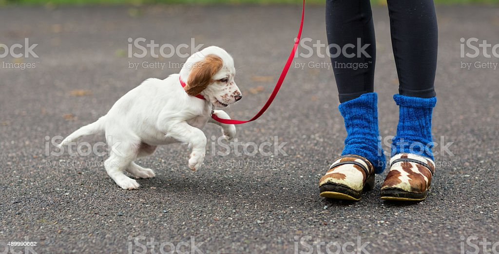English Setter puppy exited to see clogs stock photo