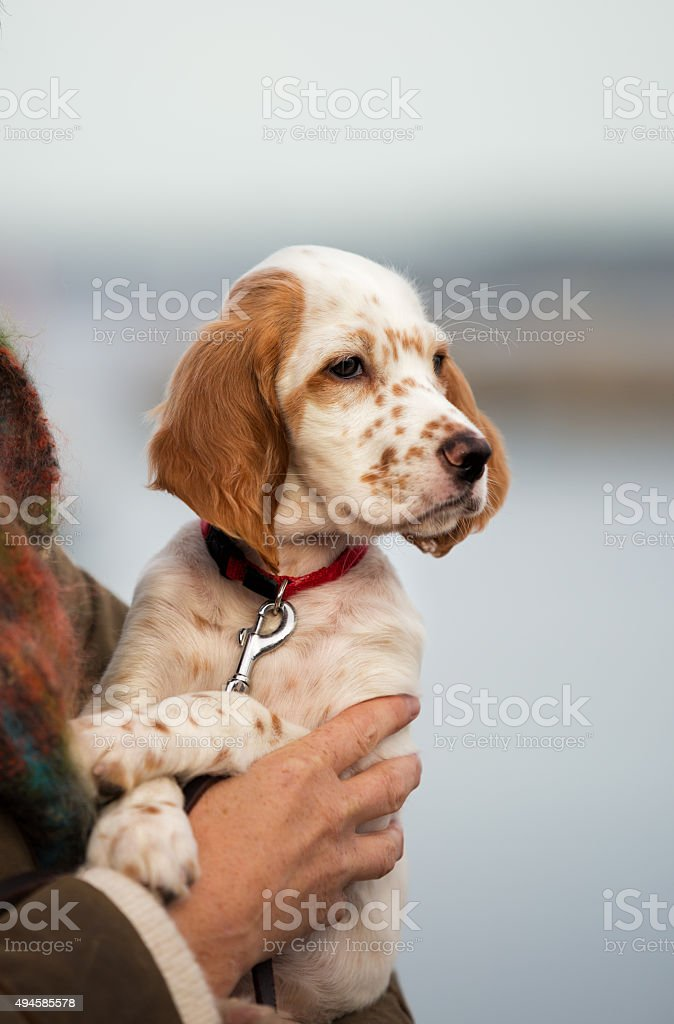English Setter puppy in the owners arms, Norway stock photo