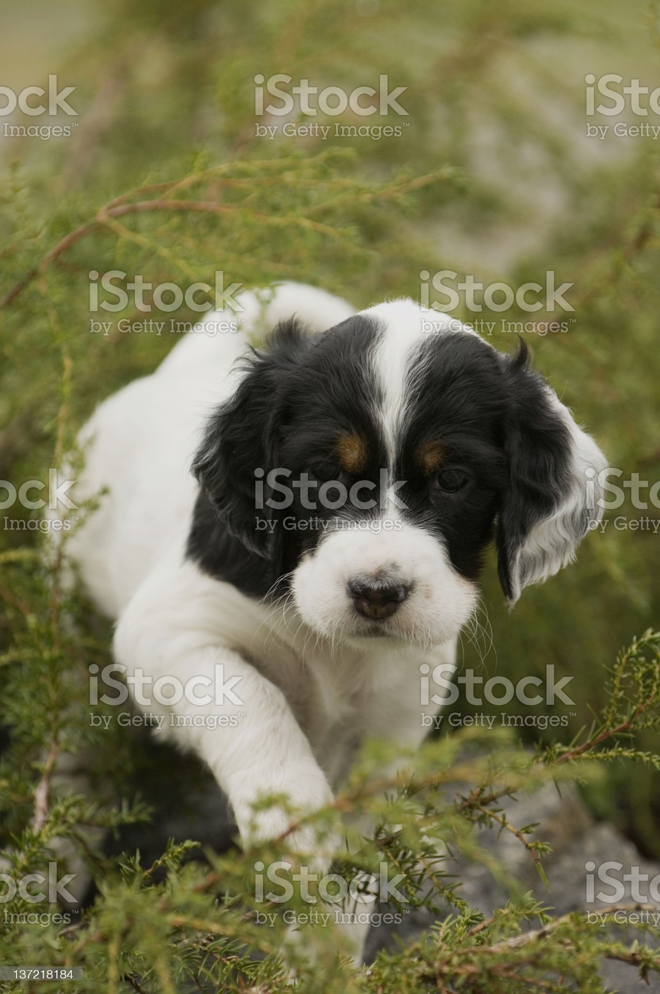 English setter puppy royalty-free stock photo