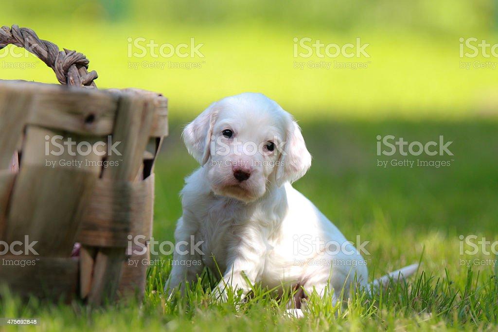 English Setter puppy stock photo