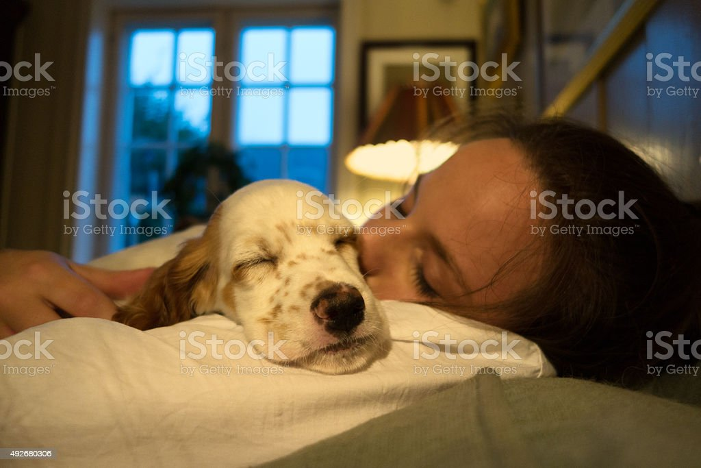 English Setter puppy sleeping in the owners arms stock photo