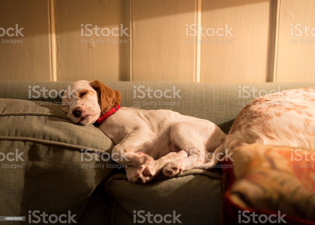 English Setter puppy sleeping on the sofa back pillow, Norway stock photo