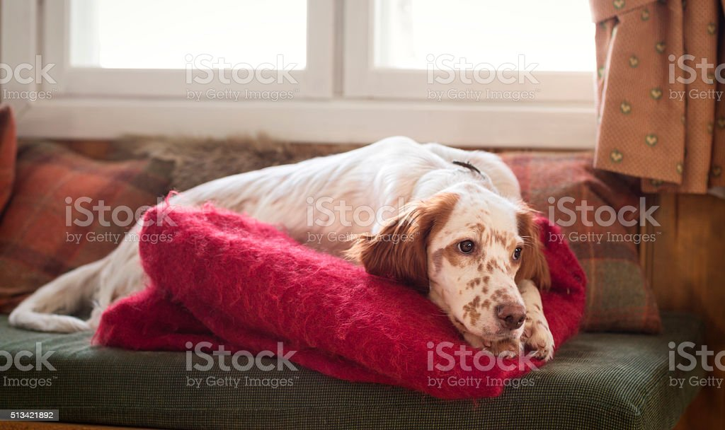 English Setter puppy sleeping on the sofa, Norway stock photo