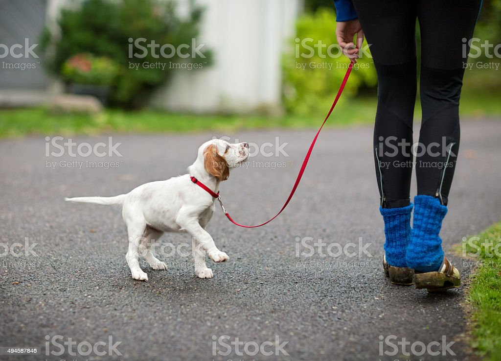 English Setter puppy walking with the new owner, Norway stock photo