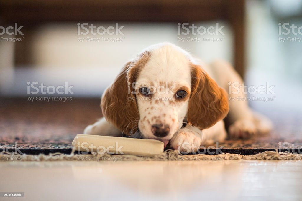 English Setter puppy with a chewing bone, Norway stock photo