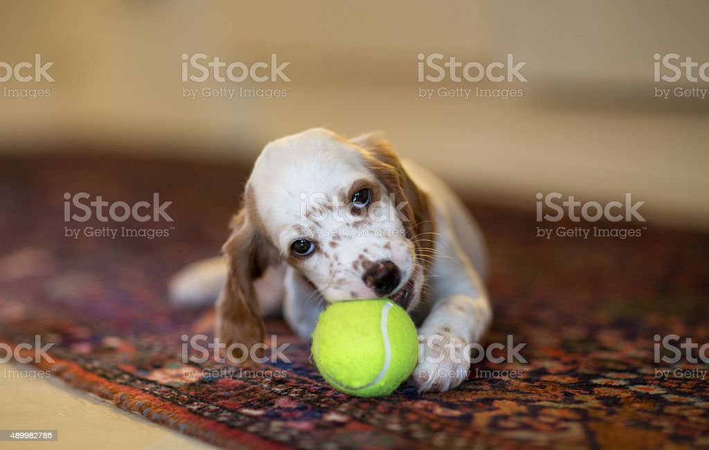 English Setter puppy with a new tennis ball, Norway stock photo