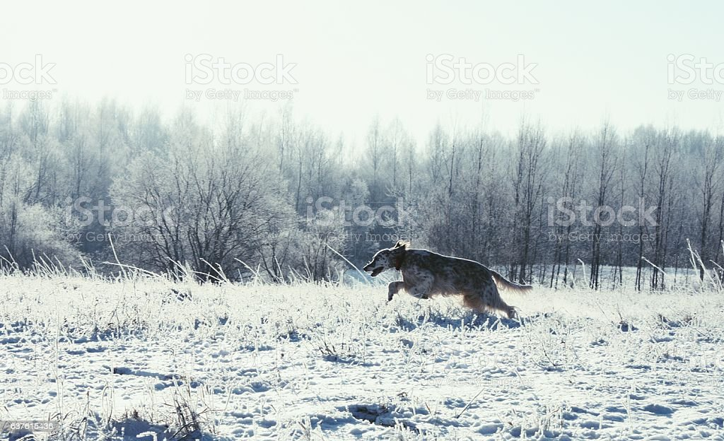 English setter running in the frozen winter field stock photo
