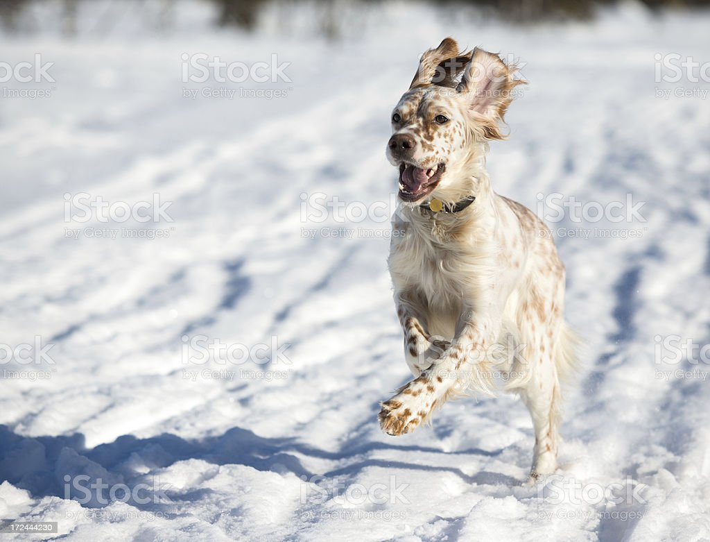 English Setter running in the snow, Norway royalty-free stock photo