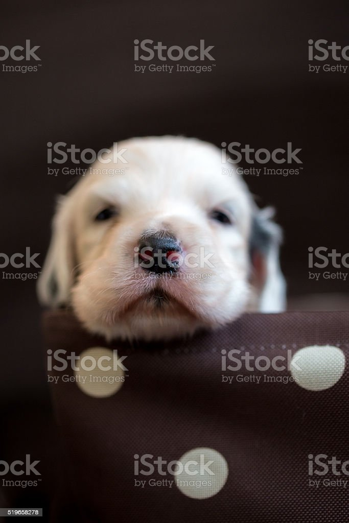 English Setter spotty in the box stock photo