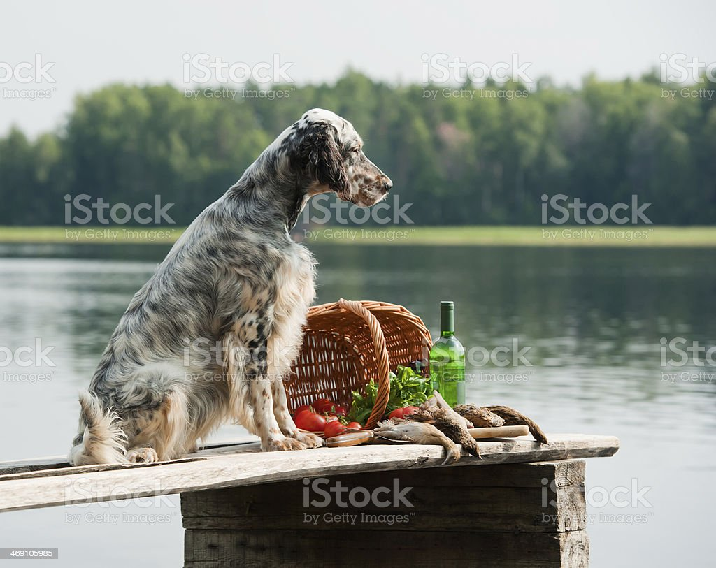 English setter with hunting birds stock photo